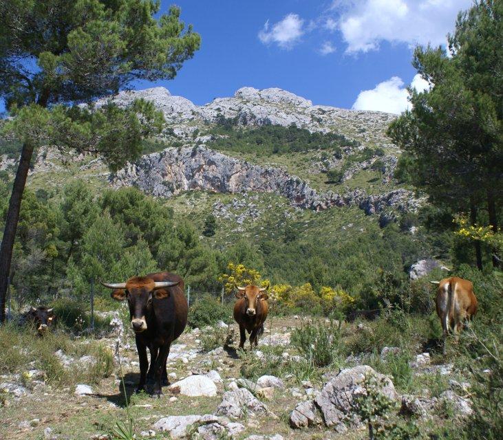 Vaques mallorquines a s'Alqueria